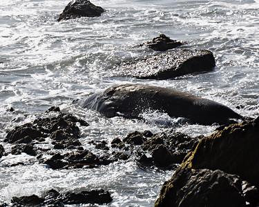 Piedras Blancas Elephant Seal Colony