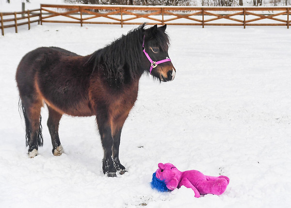 """<div class=""""jaDesc""""> <h4>Button Standing by Critter - February 6, 2018</h4> <p>Button is the most timid of the group of 5 ponies.  After the other 4 ponies had checked out the strange pink critter, she got up the nerve to calmly walk over to it. </p></div>"""