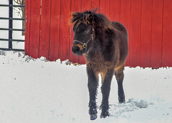 """<div class=""""jaDesc""""> <h4>Tiger with Fluffy Winter Coat - February 6, 2018</h4> <p>Tiger is 8 months old and filling out nicely.  He has quite the two tone forelock flair. </p></div>"""