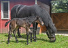 "<div class=""jaDesc""> <h4>Foal Standing Next to Mom - May 28, 2017</h4> <p>Notice how the foal's lower leg is almost as high as Love's.  He was a bit wobbly on his legs, but getting steadier each time he stood up.</p> </div>"
