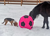 <h4>Moor Gets a Beagle Assistant - February 6, 2018</h4> <p>Copper was intrigued with the ball too and came over to assist Moor in checking it out:sniffing like a good beagle should. </p>