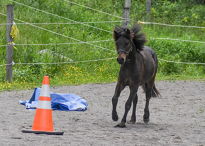 Tiger with Mane Flapping - June 4, 2018 Tiger was racing around our arena fast enough that his mane and forelock were splayed.