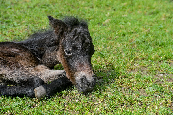 """<div class=""""jaDesc""""> <h4>Tiger Resting - May 28, 2017</h4> <p>The foal's full name is Eye of the Tiger; his nickname is Tiger.  He spent equal amounts of time lying down as he did standing.</p> </div>"""