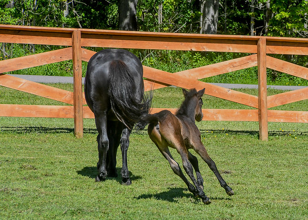 """<div class=""""jaDesc""""> <h4>Tiger Racing Around Mom - Video Attached - June 3, 2017</h4> <p>For a one week old foal, Tiger has amazing coordination at a full gallop.</p> </div> <center> <a href=""""http://www.youtube.com/watch?v=Ixn2qRLSEk4"""" style=""""color: #0AC216"""" class=""""lightbox""""><strong> Play Video</strong></a> </center>"""