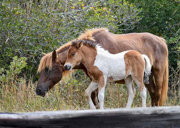"""<div class=""""jaDesc""""> <h4>Chincoteague Pony Foal with Mother - October 23, 2017</h4> <p>Mother is not a pinto, but the stocky dad is.  The tri-colored pinto foal was sticking close to mom as they slowly walked down the paved path.</p> </div>"""