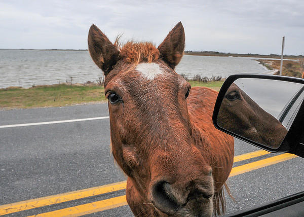 "<div class=""jaDesc""> <h4>Wild Pony at Truck Window - November 9, 2015 </h4> <p> She came right up to the window and let me pet her.  People must feed them from their cars; I was very surprised at how tame and friendly she was.  Before she moved on around the truck, she stopped and pooped by my door.  That may have been a statement about me not having any food.</p> </div>"