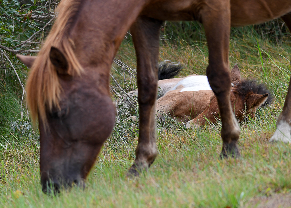 """<div class=""""jaDesc""""> <h4>Pinto Chincoteague Pony Foal Sleeping Next to Mom - October 23, 2017</h4> <p> The foal plopped down in the grass next to where mom was grazing.</p> </div>"""