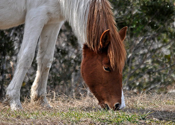 """<div class=""""jaDesc""""> <h4>Second Pinto Pony Close-up - December 16, 2014 </h4> <p> </p> </div>"""