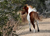 """<div class=""""jaDesc""""> <h4>Pony Dashing for Cover - December 16, 2014 </h4> <p> When a vehicle drove too close to the grazing ponies, they all dashed for the safety of the scrub brush.  Chincoteague Wildlife Preserve</p> </div>"""