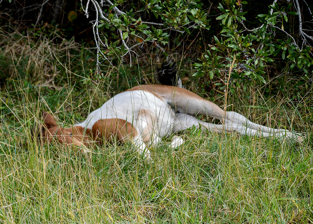"""<div class=""""jaDesc""""> <h4>Pinto Chincoteague Pony Foal Sleeping in Grass - October 23, 2017</h4> <p>As the mom moved along away from the foal to continue grazing, the foal continued to nap.</p> </div>"""