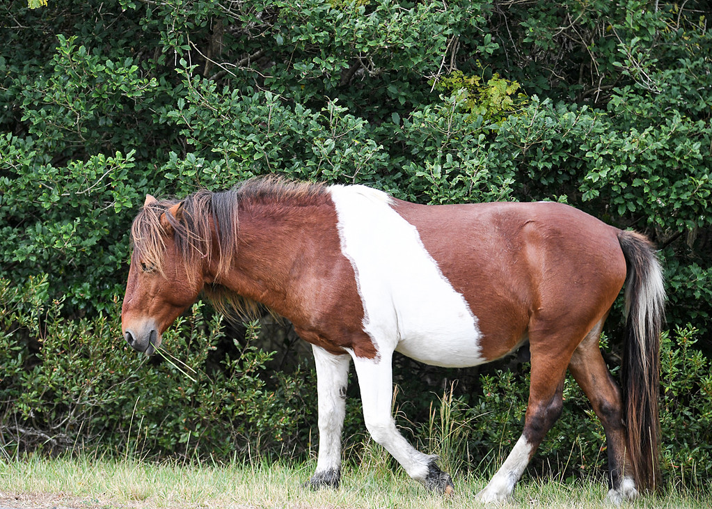 """<div class=""""jaDesc""""> <h4>Pinto Chincoteague Pony Stallion - October 23, 2017</h4> <p> According to the park ranger this tri-colored pinto stallion is the father of the tri-colored pinto foal.  He was the sturdiest looking pony in the band of 10 horses I saw.</p> </div>"""