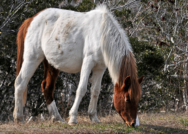"""<div class=""""jaDesc""""> <h4>Second Pinto Pony Grazing - December 16, 2014 </h4> <p> This pinto mare pony has a very unusual color pattern - white middle with a chestnut tail, left hind leg, and partial mane and head.  Chincoteague Wildlife Preserve</p> </div>"""