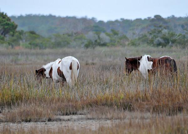 "<div class=""jaDesc""> <h4>2 Wild Pinto Ponies Grazing - November 10, 2015 </h4> <p> A second pinto pony moved along with the first, Assateague Wildlife Preserve, VA.  </p> </div>"