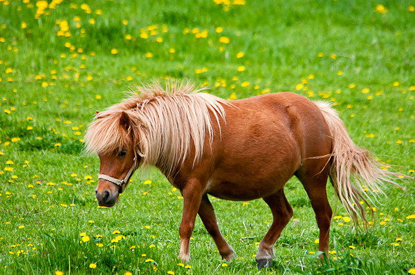 "<div class=""jaDesc""> <h4> Shetland Pony in Lush Pasture - May 17, 2013</h4> <p> I couldn't help noticing this beautiful Shetland Pony grazing in a lush green pasture full of dandelions as I was driving through the Tioga County, NY countryside.</p> </div>"