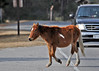 "<div class=""jaDesc""> <h4>Pony Has Right of Way - December 16, 2014 </h4> <p> When one of the ponies decided to cross the road, an oncoming vehicle politely stopped and waited.  Chincoteague Wildlife Preserve</p> </div>"