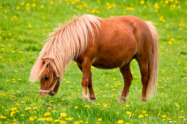 """<div class=""""jaDesc""""> <h4> Shetland Pony Grazing - May 17, 2013</h4> <p> She was enjoying the spring grass; maybe a bit too much from the size of her belly.</p> </div>"""