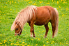 "<div class=""jaDesc""> <h4> Shetland Pony Grazing - May 17, 2013</h4> <p> She was enjoying the spring grass; maybe a bit too much from the size of her belly.</p> </div>"