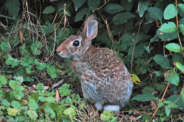 """<div class=""""jaDesc""""> <h4> Rabbit at Woods Edge - August 2006 </h4> <p> I was hiking along a wooded area when I noticed this young Rabbit hanging out next to a large shrub.  He darted for cover as I walked by.</p> </div>"""