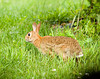 "<div class=""jaDesc""> <h4> Rabbit Living Dangerously - Side View - July 22, 2008 </h4> <p> Here is a full side shot of the same very large adult Rabbit that was hopping around our backyard.</p> </div>"