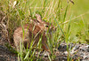 "<div class=""jaDesc""> <h4> Rabbit Trying to Hide - June 26, 2012 </h4> <p> I was driving down a farmers road looking for Killdeer that had been reported when I noticed this Rabbit in the afternoon sun.</p> </div>"