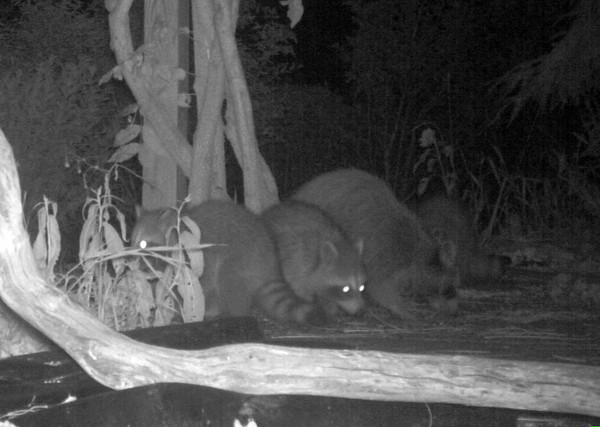"""<div class=""""jaDesc""""> <h4> Raccoon Family - The Night Shift - July 23, 2011</h4> <p>Recently when I go to feed the birds in the morning, one of the bird feeder platforms is tipped over. I suspected a raccoon, so I put up my infrared camera the other night. It turns out there is a family of four raccoons enjoying the left-over seed.</p> </div>"""