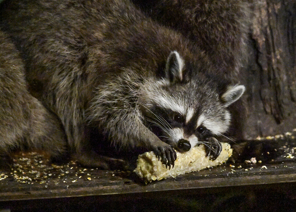 """<div class=""""jaDesc""""> <h4>Mother Raccoon Chewing on Corn Cob - August 29, 2017</h4> <p>Tonight's buffet spread included corn cobs with some kernels deliberately left on for the Raccoons' dining pleasure.</p> </div>"""