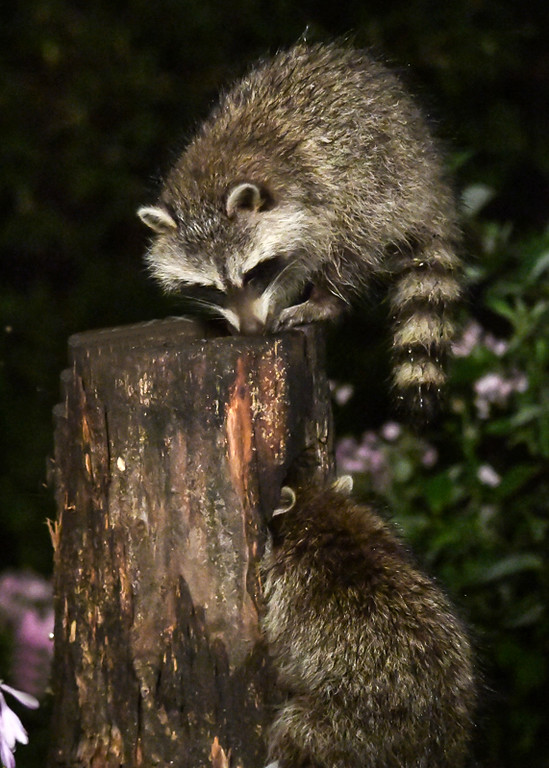 """<div class=""""jaDesc""""> <h4>2nd Young Raccoon Dining in Woodpecker Hole - August 22, 2017</h4> <p>The 1st  young raccoon would not share the top of the log, so the 2nd Raccoon went after the peanuts I tossed into the woodpecker hole on the side of the log. </p></div>"""