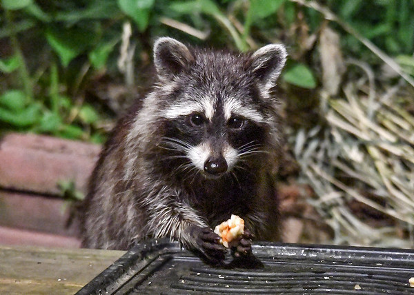 "<div class=""jaDesc""> <h4>Young Raccoon Eating Pizza - June 16, 2018</h4> <p>Leftovers become Raccoon food.  Tonight's leftover menu was pizza and french fries.</p> </div>"