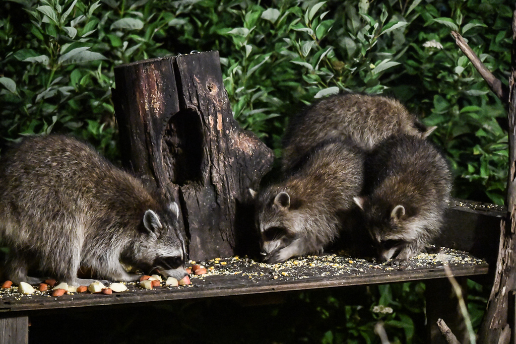 """<div class=""""jaDesc""""> <h4>Raccoon Family Dining - August 30, 2017</h4> <p>Mother Raccoon is on the left; three youngster on the right are growing fast.  Mom gets first dibs at the apple chunks.</p> </div>"""
