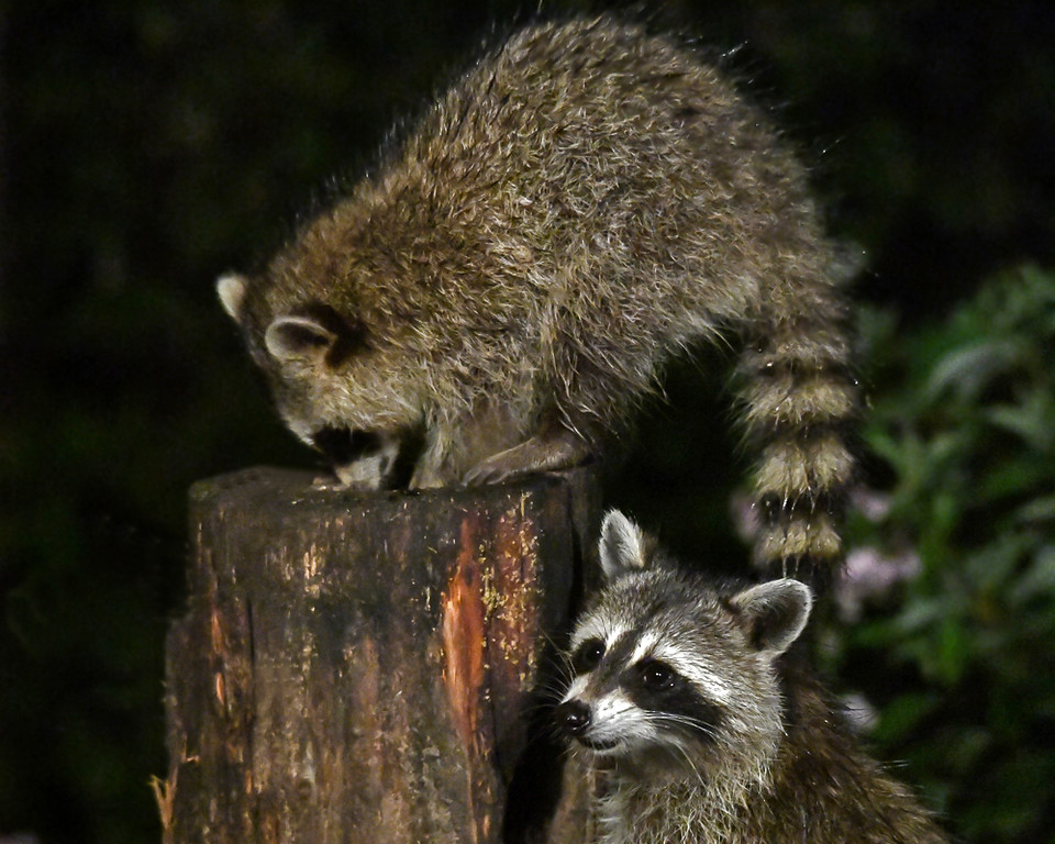 """<div class=""""jaDesc""""> <h4>2nd Young Raccoon at Feeder Log - August 22, 2017</h4> <p>The 2nd  young raccoon ambled over to the feeder log to see what she could find. </p> </div>"""