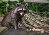 "<div class=""jaDesc""> <h4>Young Raccoon Licking Lips - June 16, 2018</h4> <p>I think this young Raccoon was pleasantly surprised to see what was on the tray.</p> </div>"