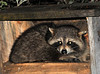 """<div class=""""jaDesc""""> <h4> Raccoon in Bird Feeder Box - May 10, 2014 </h4> <p> As I was getting ready to turn out the front porch light, I noticed this Raccoon sitting in the bird feeder box munching on sunflower seeds.  I got this photo with my flash - reason for the yellow eyes.  He was less than 10 feet away and seemed unfazed by my presence.</p> </div>"""