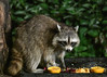 """<div class=""""jaDesc""""> <h4>Raccoon Arrives at Food Tray - July 11, 2017</h4> <p> I am now putting out a variety of food:  cantaloupe, beet peels, orange, cracked corn, birdseed, and peanuts.  Everything but the beets was eaten.</p> </div>"""