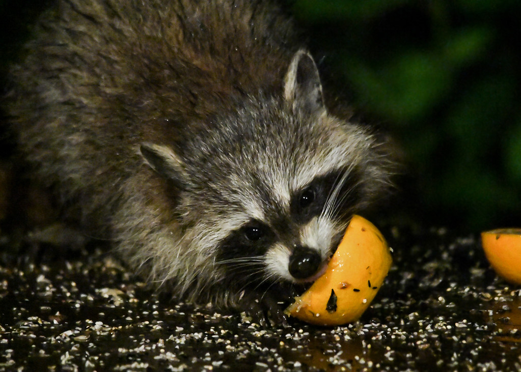 """<div class=""""jaDesc""""> <h4>Young Raccoon Chewing Orange - August 22, 2017</h4> <p>There is no flesh left inside the orange peels in the morning.</p> </div>"""