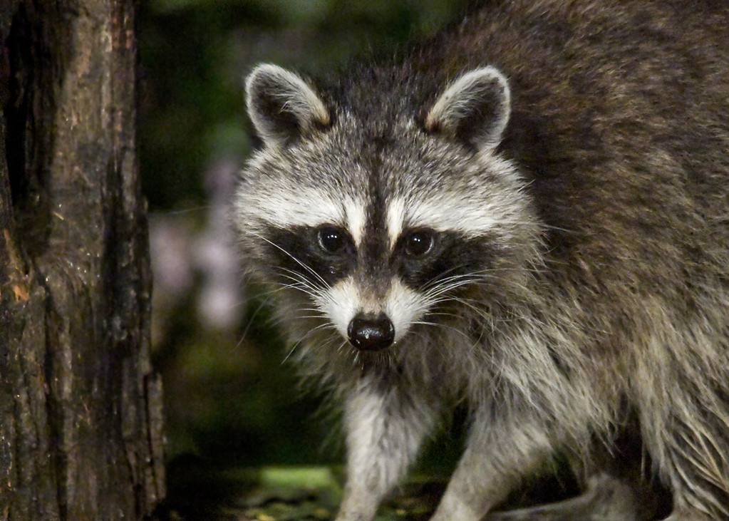 """<div class=""""jaDesc""""> <h4>Mother Raccoon Keeping Eye on Me - August 30, 2017</h4> <p>Mother Raccoon is very protective of her 3 youngsters.  She will pause from eating to check up on what I am doing every few minutes.</p> </div>"""