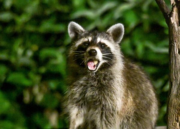 "<div class=""jaDesc""> <h4>Raccoon Chewing Apple Chunk - July 12, 2017</h4> <p></p> </div>"