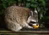 """<div class=""""jaDesc""""> <h4>Raccoon Eating Orange - July 11, 2017</h4> <p>The Raccoon scrapes all the remaining flesh out of an orange half.</p> </div>"""