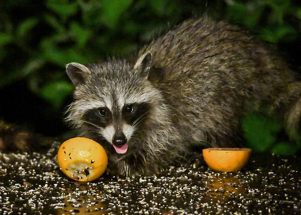 """<div class=""""jaDesc""""> <h4>Young Raccoon Licking Orange - August 22, 2017</h4> <p>All the Raccoons like to lick  the leftover orange halves.</p> </div>"""