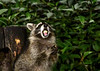 "<div class=""jaDesc""> <h4>Young Raccoon Chewing and Holding Apple Chunk - September 16, 2017</h4> <p>While this young Raccoon was chewing one apple chunk, he picked up another. </p> </div>"