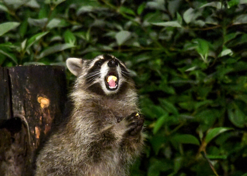 """<div class=""""jaDesc""""> <h4>Young Raccoon Chewing and Holding Apple Chunk - September 16, 2017</h4> <p>While this young Raccoon was chewing one apple chunk, he picked up another. </p> </div>"""