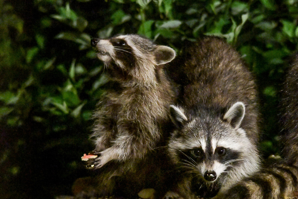 """<div class=""""jaDesc""""> <h4>Young Raccoon Grabs Watermelon Chunk - August 30, 2017</h4> <p>One of the youngsters scooted underneath Mom and grabbed a piece of watermelon rind.  Then he raised his nose to air scent as if to celebrate before eating it.</p> </div>"""