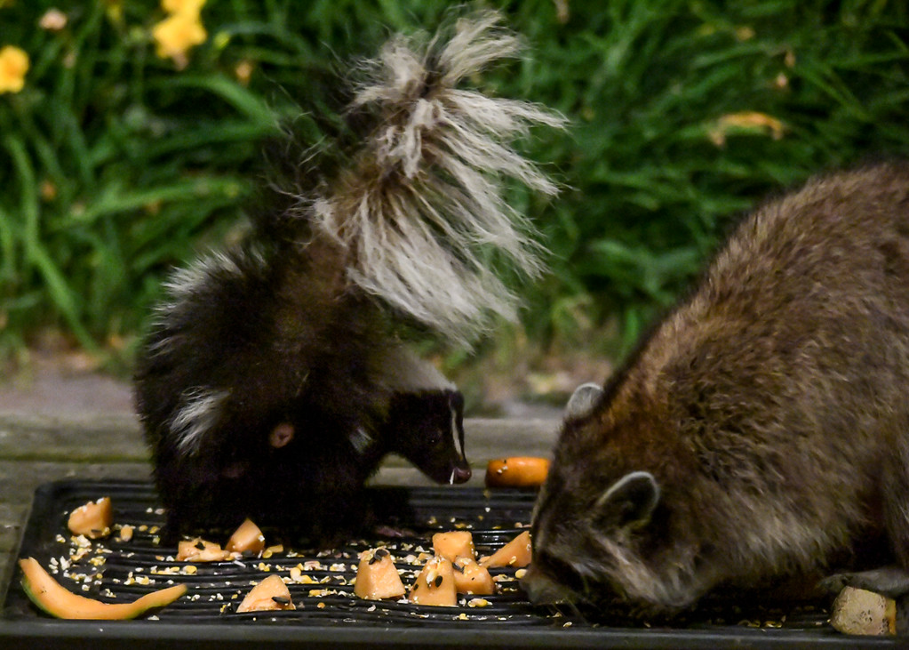 """<div class=""""jaDesc""""> <h4>Skunk Takes Offense - July 10, 2017</h4> <p>As the Raccoon moved closer into the Skunk's space, the Skunk turned it's hind end as a warning and made a threatening sound.  I was sure the Raccoon was about to get sprayed in the face.</p> </div>"""