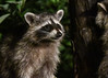 "<div class=""jaDesc""> <h4>Young Raccoon Arrives - August 29, 2017</h4> <p>The first Raccoon to arrive tonight was one of the youngsters.  As he climbed up onto the buffet table, he stopped to air scent like a dog would.  So cute!</p> </div>"