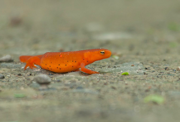 "<div class=""jaDesc""> <h4> Red Eft - Side View - June 26, 2012 </h4> <p> Red Efts can often be seen as bright orange beacons crossing the road in the forested areas where they live. After several years living on land, they will fade to light green and go back to living in water. They do not develop gills again, but must come to the surface to breath through their lungs.</p> </div>"