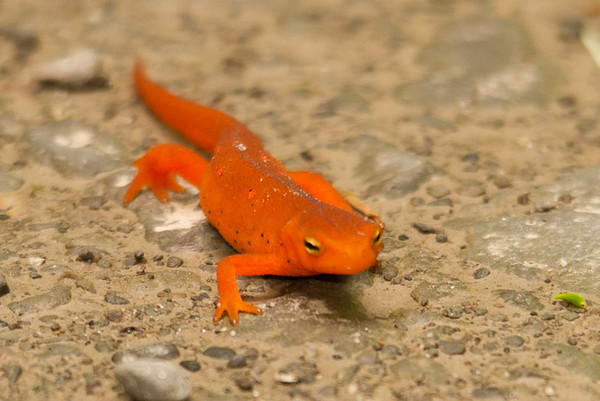 """<div class=""""jaDesc""""> <h4> Red Eft - Front View - June 26, 2012  </h4> <p> Red Efts first come out of the water when they are less than an inch long, but can grow over time to up to 4 inches long. They are bright orange with spots but fade to green after a few years. Their front feet have 4 toes and back feet have 5 toes.</p> </div>"""