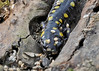 "<div class=""jaDesc""> <h4> Spotted Salamander - Front View - April 15, 2014 </h4> <p> Spotted Salamanders are typically 7 to 10 inches long and have a broad snout.</p> </div>"