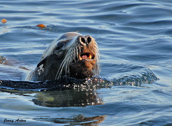 """<div class=""""jaDesc""""> <h4> California Sea Lion Swimming - November 3, 2009</h4> <p>  This female Sea Lion was swimming in the water along with several others next to the seawall in Monterey Bay, CA. Her teeth and nose look much like those of a large dog.</p> </div>"""