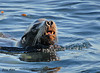 "<div class=""jaDesc""> <h4> California Sea Lion Swimming - November 3, 2009</h4> <p>  This female Sea Lion was swimming in the water along with several others next to the seawall in Monterey Bay, CA. Her teeth and nose look much like those of a large dog.</p> </div>"