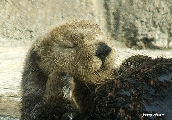 "<div class=""jaDesc""> <h4> Sea Otter Grooming - November 9, 2009 </h4> <p>This Sea Otter was grooming her face and whiskers as she lounged on a rock platform.  Photo was taken at the Monterey Aquarium.</p> </div>"