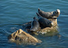 """<div class=""""jaDesc""""> <h4>Pacific  Harbor Seals Lounging - November 3, 2009 </h4> <p>The Harbor Seals in Monterey Bay, CA like to relax on low protruding rocks to sun bathe.  The two on the right were fussing at each other.  Apparently they prefer more personal space.</p> </div>"""